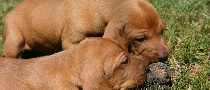 Cuccioli di Vizsla che giocano con un tartufo